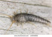 stock-photo-silverfish-sitting-on-wood-extreme-close-up-with-high-magnification-focus-on-eyes-125946692